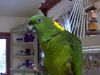 Normal shot of Joe, our parrot.